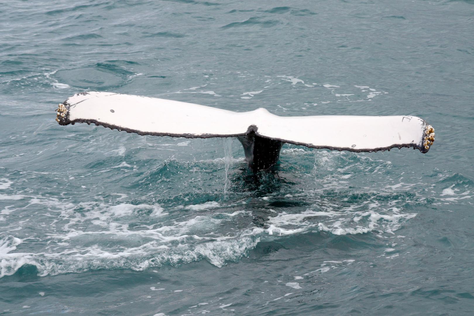 Meeresgigant (Buckelwal) vor Hervey Bay