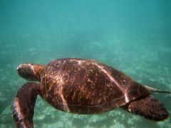 Meeresschildkröte auf Galapagos