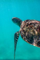 Meeresschildkröte im Roten Meer