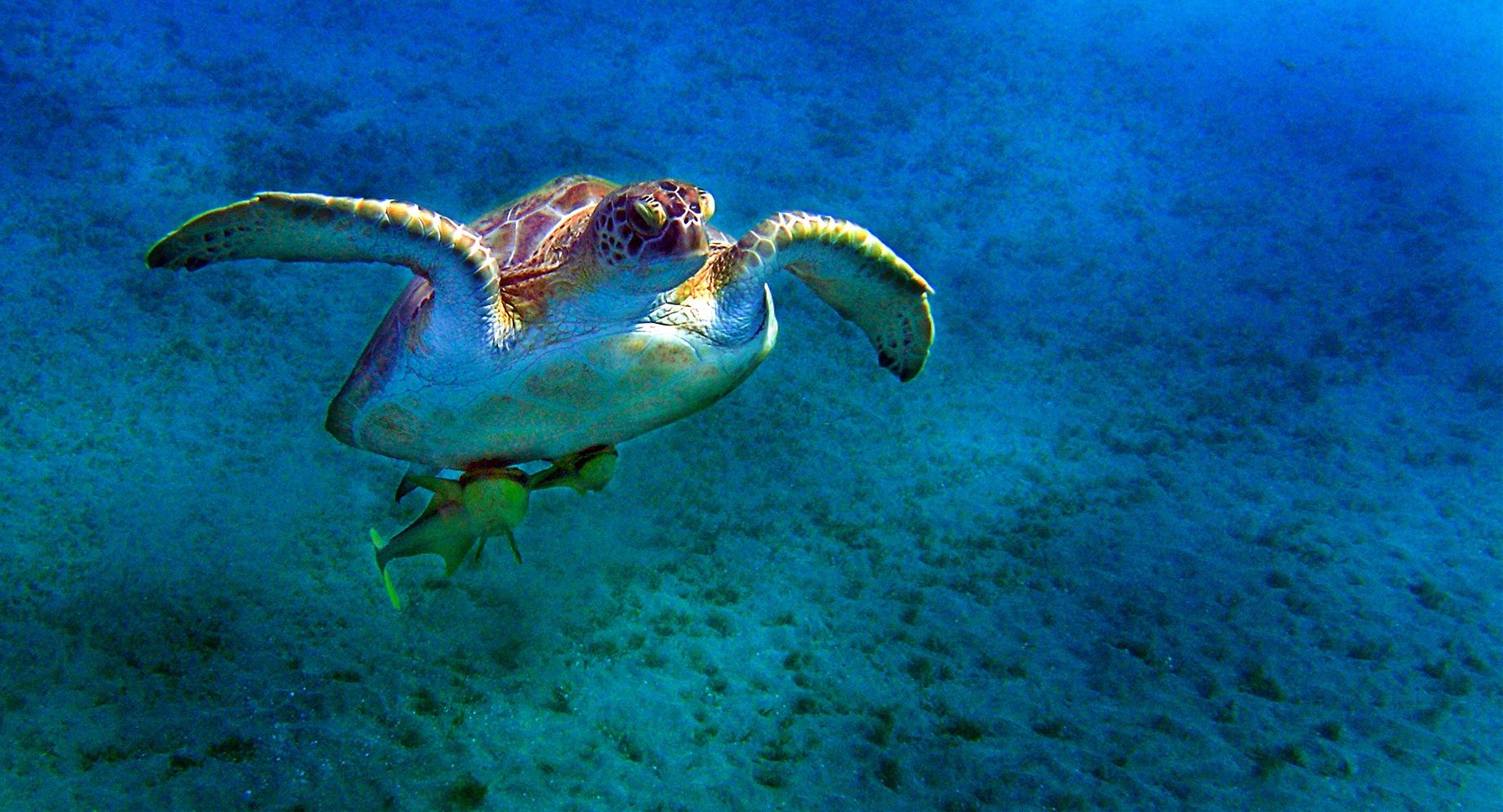 Meeresschildkröte mit Security