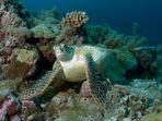 Meeresschildkröte | Rast im Korallenriff