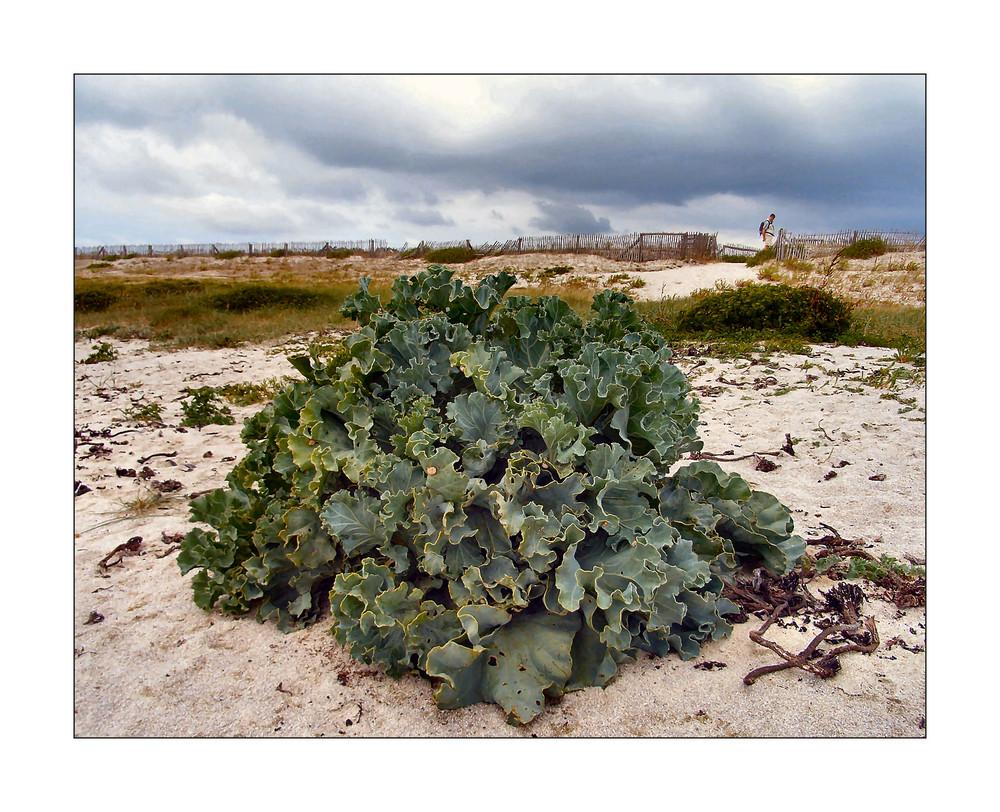 Meerkohl am Strand von Lesconil