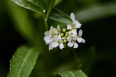 Meerrettich in Blüte