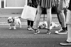 Meeting mit Bulldoggen