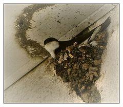 Mehlschwalbe im Nest