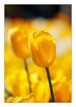 Mehr Tulpen