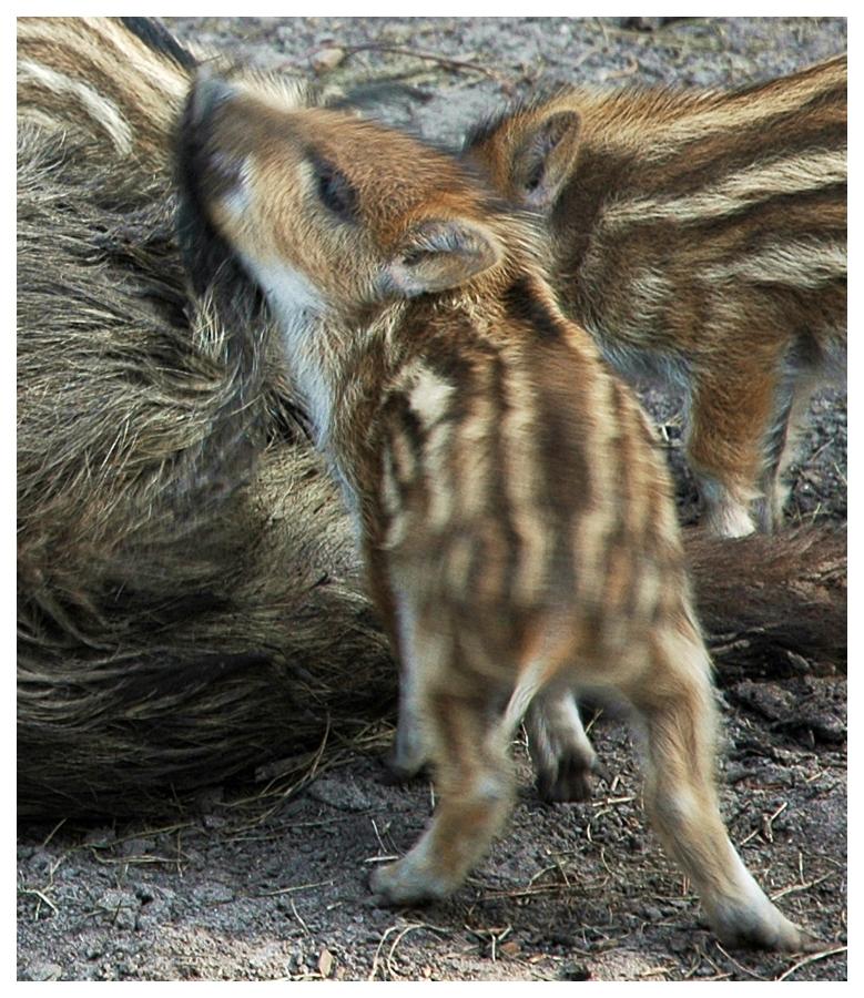 mehr Wildschwein
