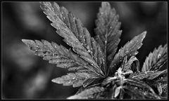 #mehrcannabisfüralle