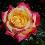 Mehrfärbige Rose