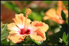 Mehrfarbige Hibiscus