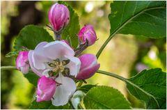 Mein Apfelbaum