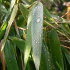 Mein Bambus im Morgentau