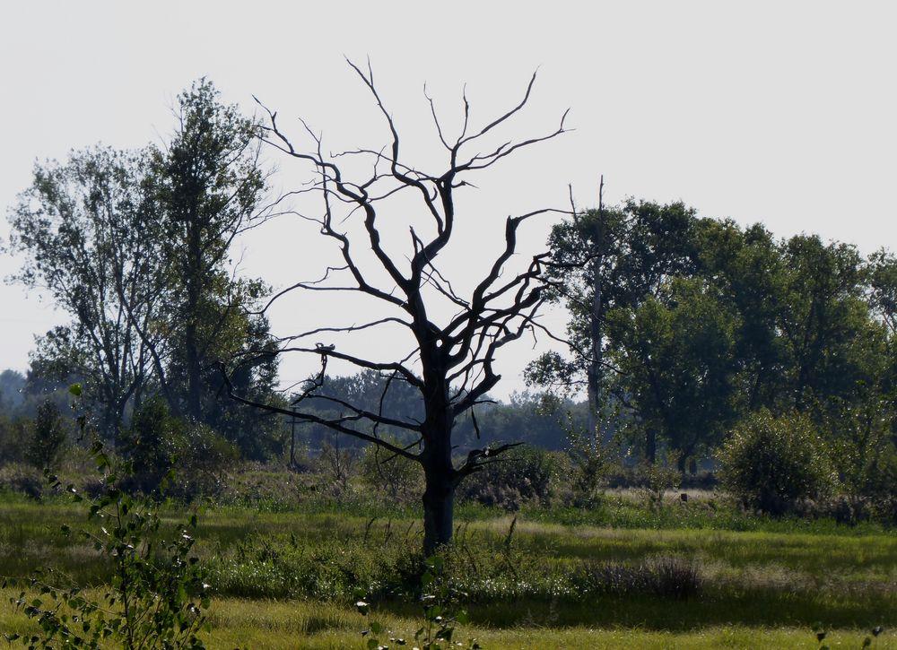 Mein Baum - so - trocken - seit Jahren ohne Umzufallen