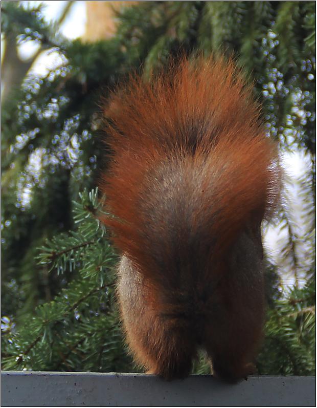 Mein Eichhörnchen ...