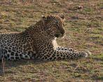 - mein erster Leopard -