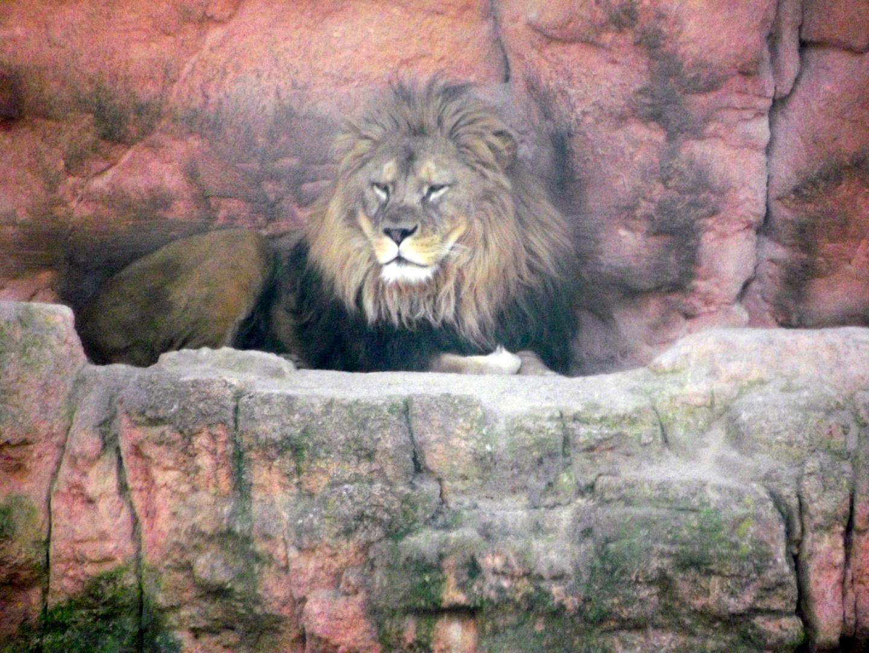 Mein erster Löwe