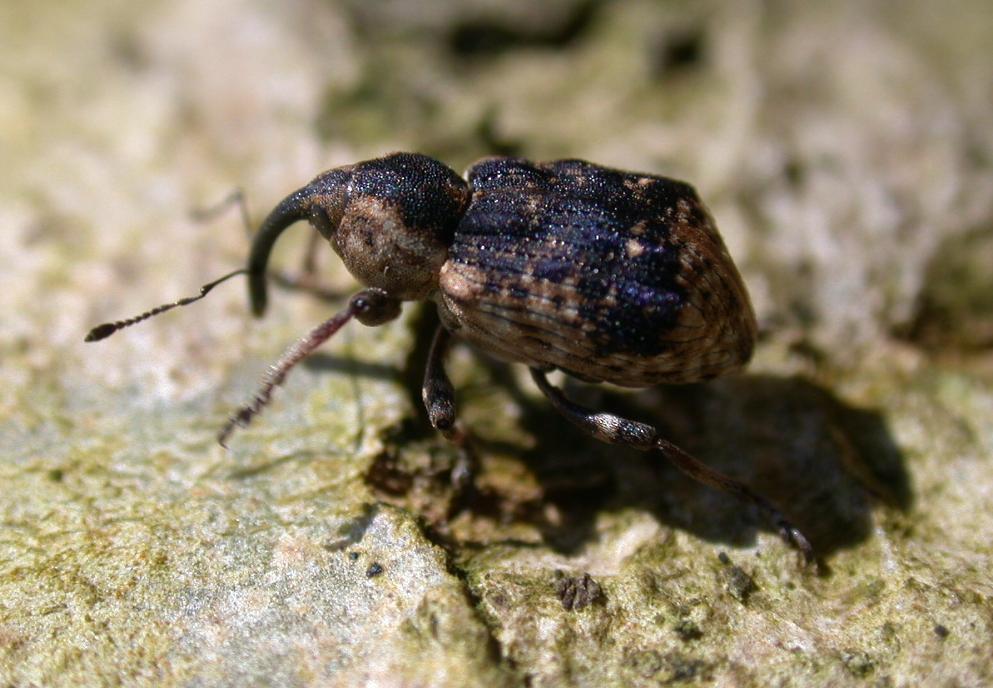 Mein erster Rüsselkäfer