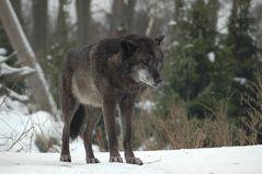 Mein erster Wolf