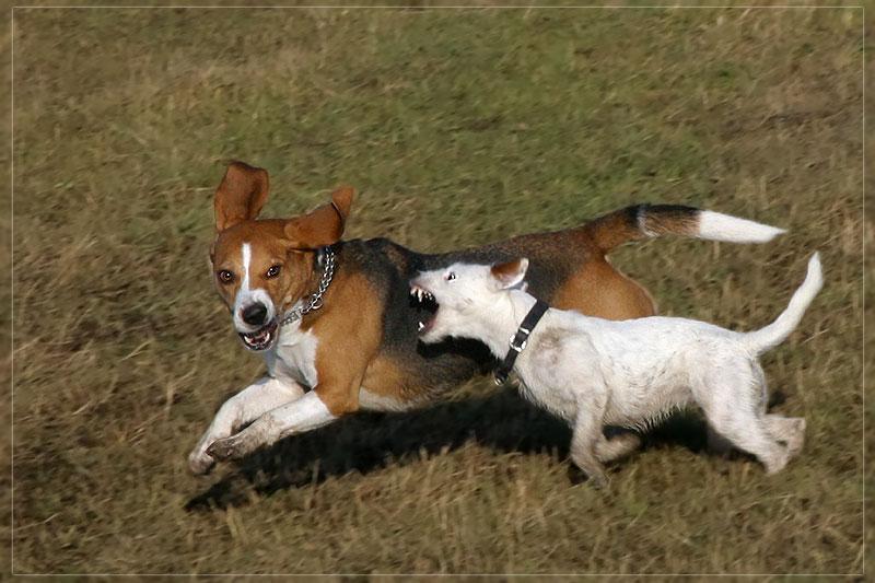 Mein Freund, der Beagle ;-)
