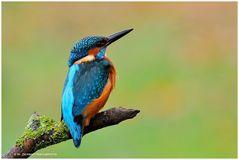 --- Mein Freund der Eisvogel --- Alcedo atthis )