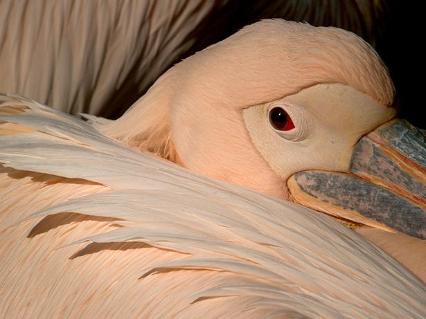 Mein Freund der Pelikan