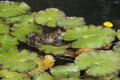 Mein Froschkönig I
