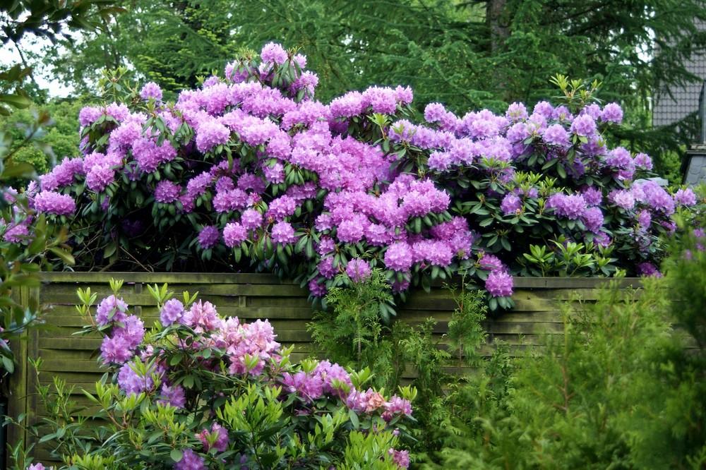 mein haus mein boot foto bild pflanzen pilze flechten str ucher rhododendron. Black Bedroom Furniture Sets. Home Design Ideas