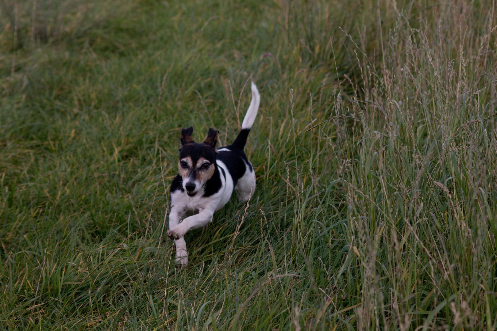 Mein Jack Russel Terrier