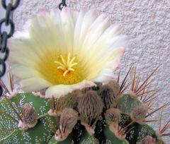 mein Kaktus 2