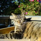 Mein Katzer Moritz auf dem Balkon