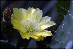 ... mein kleiner, grüner Kaktus ...