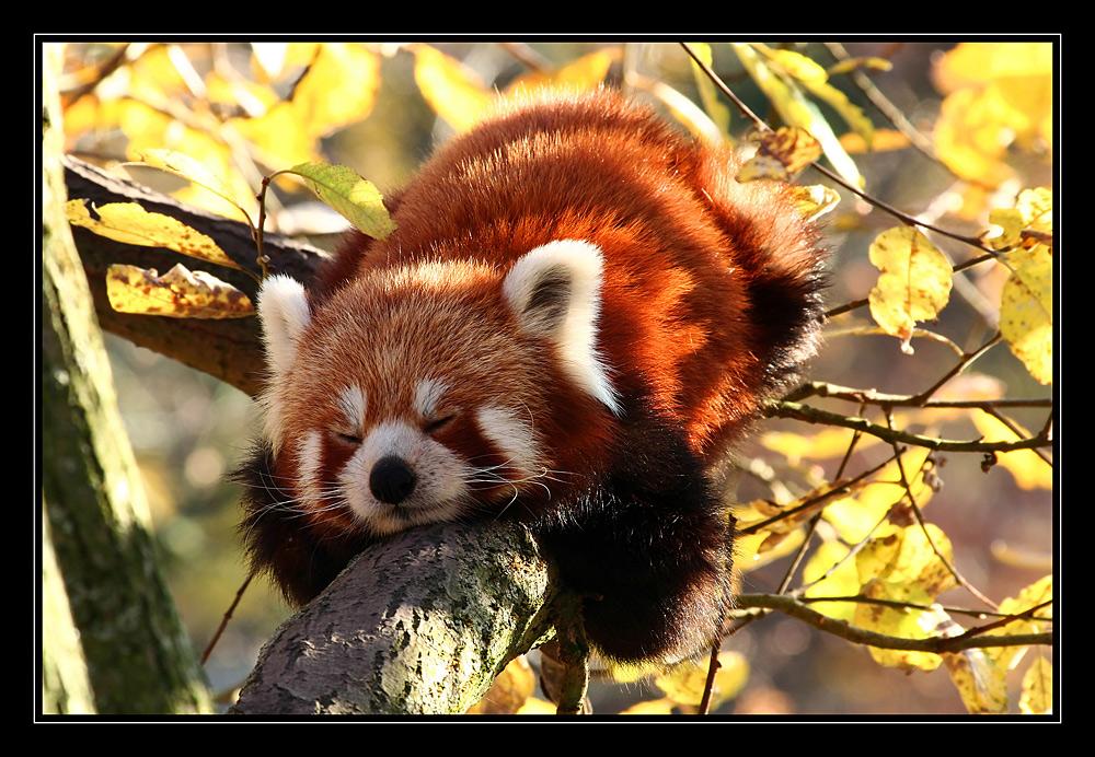mein kleiner panda foto bild tiere zoo wildpark falknerei s ugetiere bilder auf. Black Bedroom Furniture Sets. Home Design Ideas
