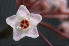 mein kleines Wachsblumenkabinett (2)
