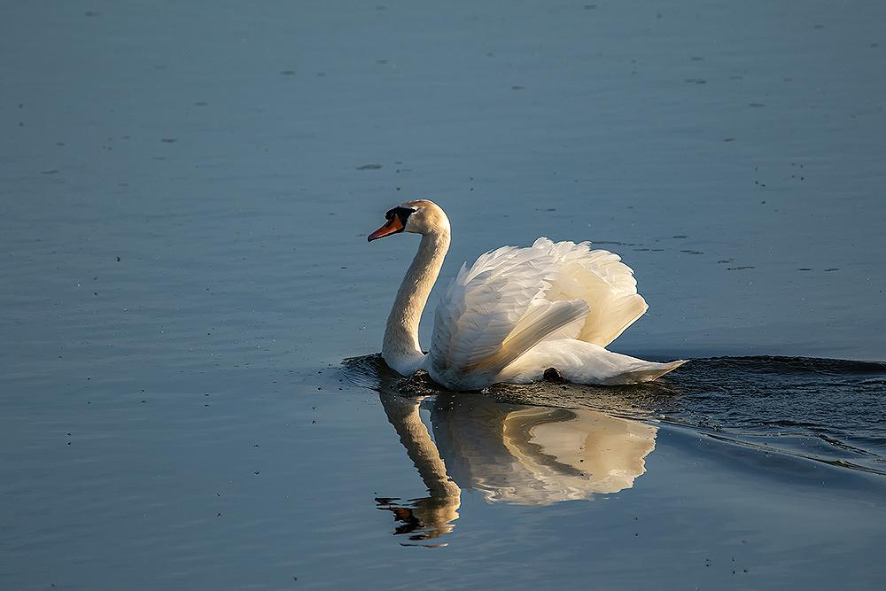 Mein-lieber-Schwan Foto & Bild | tiere, wildlife, wild