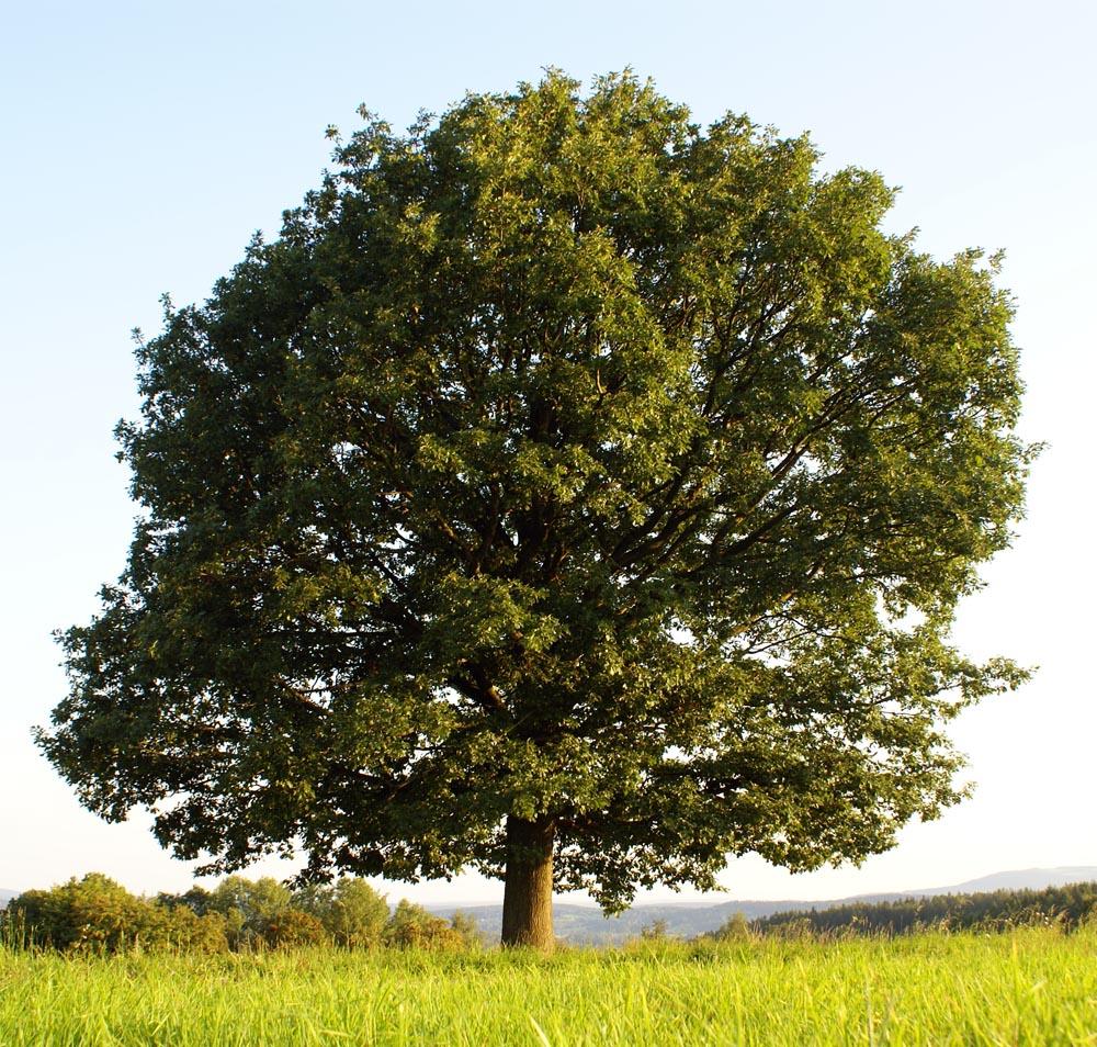 mein lieblingsbaum im sommer foto bild pflanzen pilze flechten b ume einzelb ume bilder. Black Bedroom Furniture Sets. Home Design Ideas