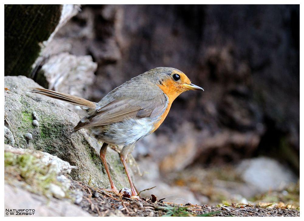 -- Mein Lieblingsvogel -- ( Erithacus rubecula )