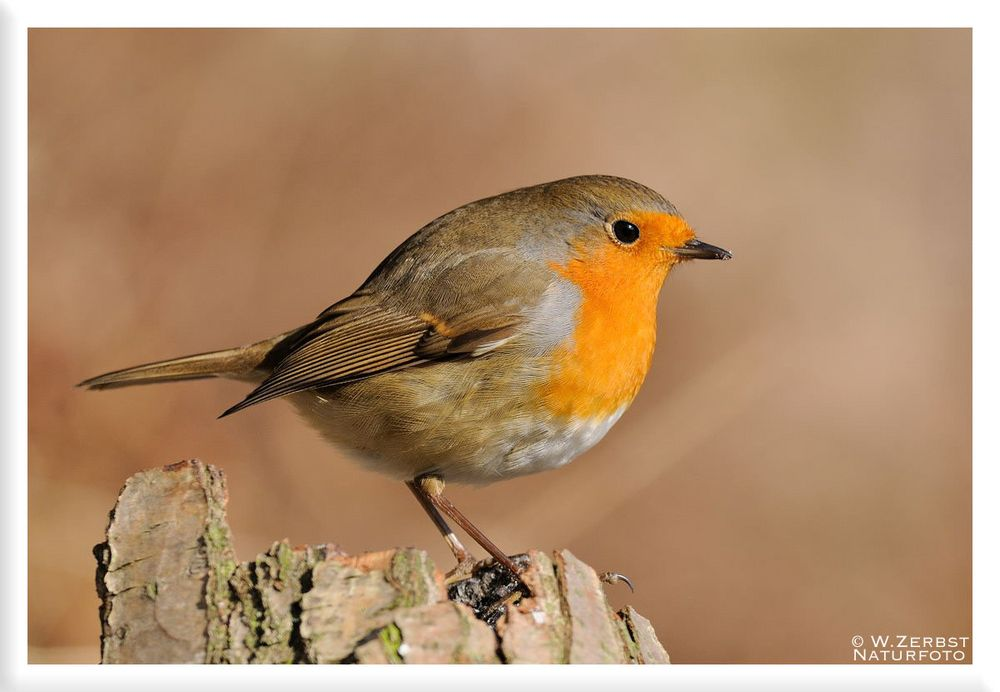 - Mein Lieblingsvogel - ( Erithacus rubecula )