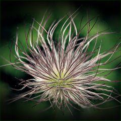Mein MiPlü: Blume des Jahres 1996