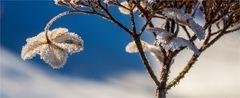 … Mein Mittwochsblümchen … ein Wintergeschenk …