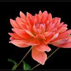 Mein Mittwochsblümchen-eine Dahlie