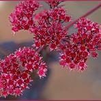 Mein Mittwochsblümchen ist eine Purpur-Waldfetthenne