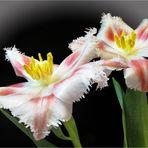 Mein Mittwochsblümchen - vom 01.04.2020 -Fransentulpe