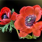 Mein Mittwochsblümchen vom 04.03.2020 -   Anemone (Anemone coronaria)