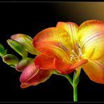 Mein Mittwochsblümchen vom 22.01.2020 - eine Freesie -