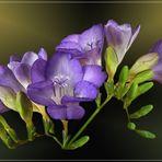 Mein Mittwochsblümchen vom 29.01.2020 - eine blaue Freesie -