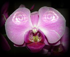Mein Name ist Phalaenopsis