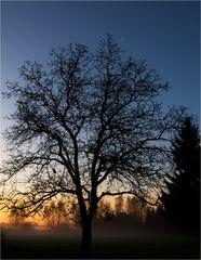Mein Nussbaum.