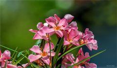 Mein Oleander blüht