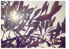 Mein Olivenbaum