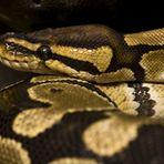 Mein Python Hanni